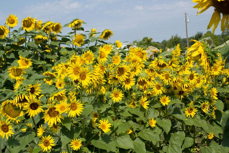 These sunflowers grow on research fields in Ames, Iowa, which is a state with almost no commodity sunflower production. But places like Kansas, North Dakota, Colorado, Minnesota, Wyoming and Texas, sunflowers are a commonly rotated row crop.