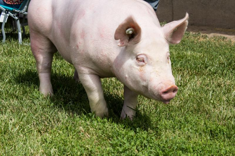 Healthy sows improve the overall health of the swine herd and reduce the need for antibiotics.