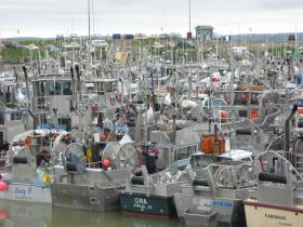 Commercial fishing vessels waiting on fishing time in the Dillingham Harbor during the 2012 season.