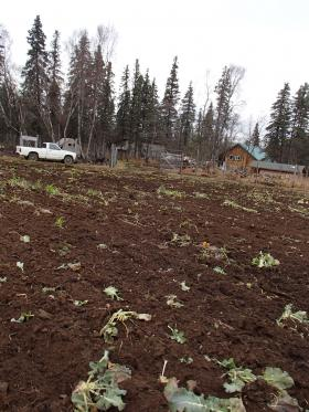 The Belleque family farm in Dillingham, towards the end of the season.