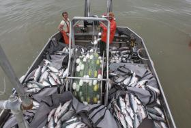 A vessel full of sockeye during the 2013 season.