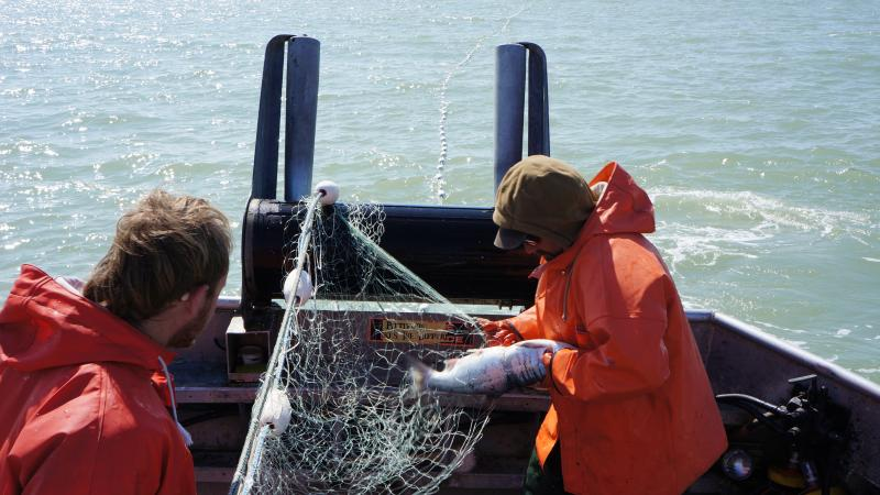Picking fish on a drift vessel