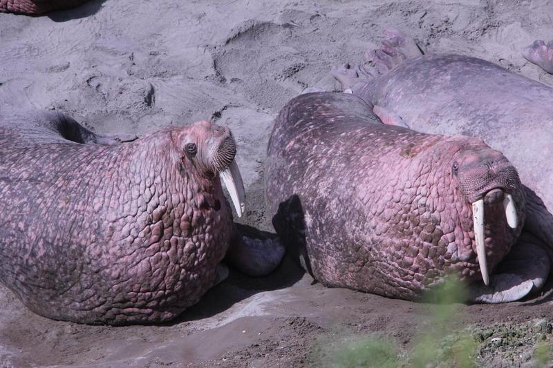 Walrus at Cape Greig.
