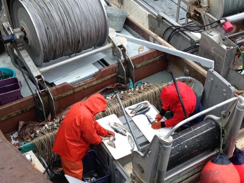 Preparing to halibut fish in the spring of 2016. At Dillingham boat harbor.