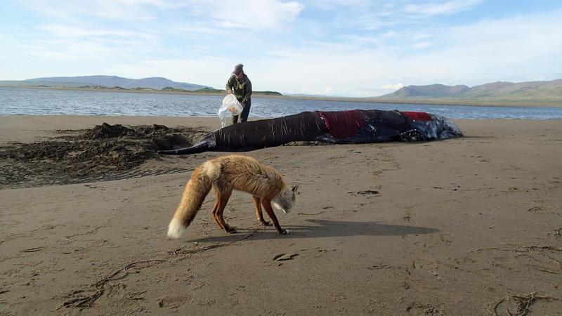 A gray whale dies slowly near Cape Pierce, summer 2016.