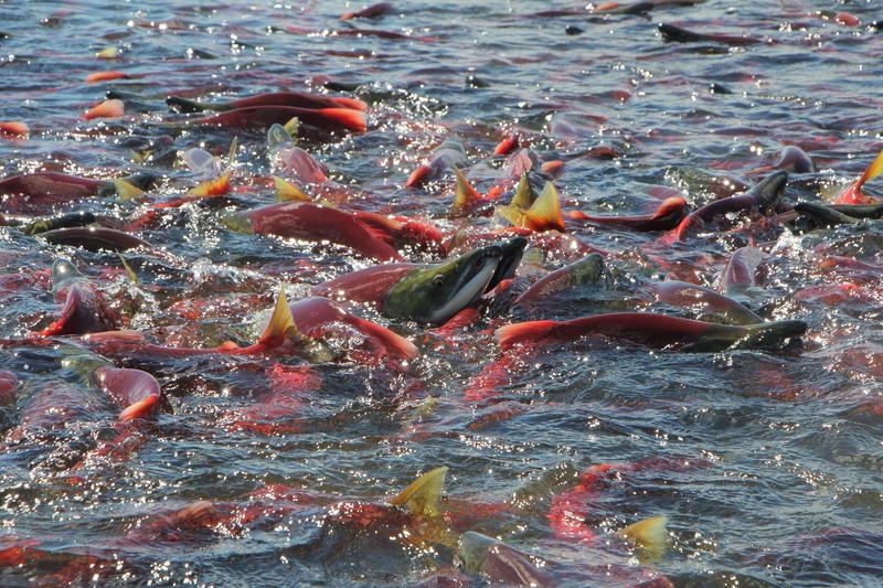 Sockeye push up Hansen Creek to spawn