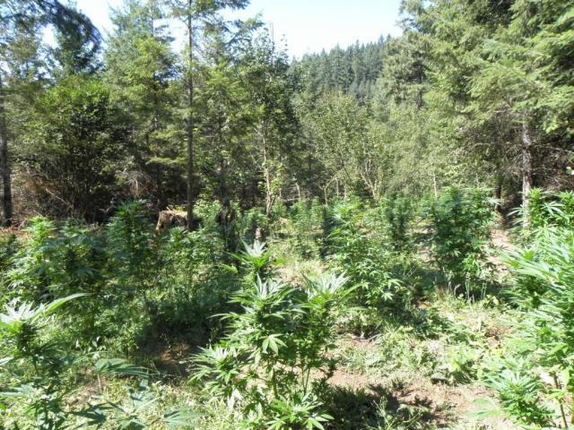Illegal marijuana grow site busted on WRNF south of Carbondale
