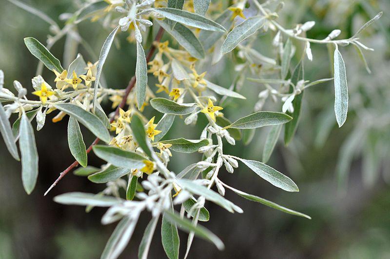 Elaeagnus angustifolia Oleaster, Russian Olive