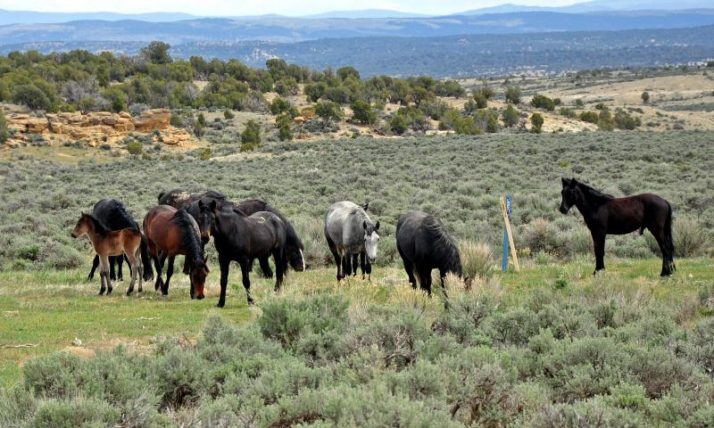 Springs foals, mares, and stallions on the Piceance East Douglas Herd Management Area, west of Meeker, CO.