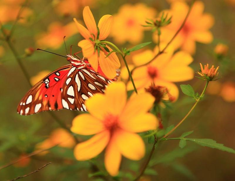 Black Bayou will be releasing butterflies to start their migration journey.