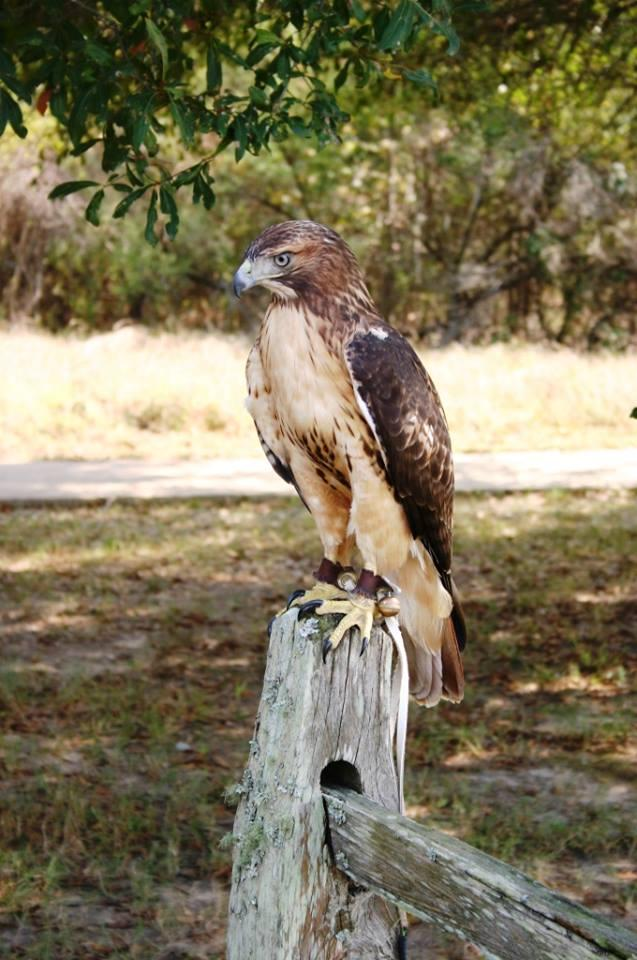 Delhi the hawk is visiting again after his appearance at the Fall Celebration.
