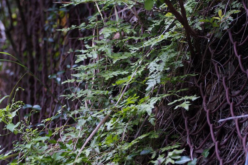 Japanese Climbing Ferns