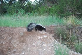 Intrepid researchers and cameramen track skunks day and night, uncovering how they hunt, forage, mate and raise their young.
