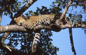 African leopard resting on tree branch with right paw dangling down.