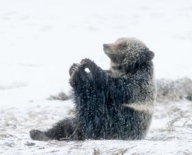 A grizzly bear plays with his toes in Yellowstone National Park.