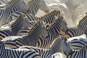 A herd of zebra stampedes along the Boteti River. Makgadikgadi Pans National Park, Botswana.