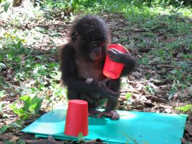 Baby chimpanzee examines red cups in Lola Ya Bonobo, Democratic Republic of Congo.