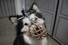 NOVA investigates new discoveries in genetics that are illuminating the origin of dogs — with revealing implications for the evolution of human culture as well. Pictured: Rebel — a dog participating in a scientific study at the University of Lincoln to see how dogs see the world