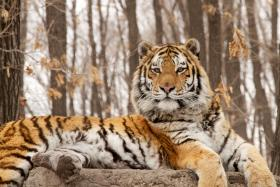 Raised in captivity, this adult male tiger is seen lying on a man-made lookout. As in the wild, he uses this high point to sit and watch across his territory. In the wild he would use cliffs, even large trees and hill tops in Victor Yudin's tiger neclosure, Spassk, Primorsky Krai, Russia.
