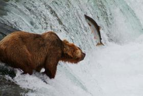 Pictured: Grizzly bear fishing for salmon, Brooks Falls, Katmai National Park and Preserve, Alaska.