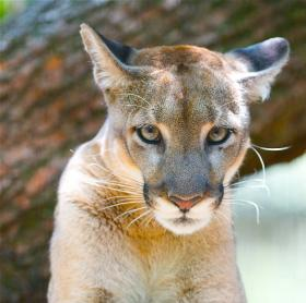 """Calusa,"" a Florida panther, at Tampa's Lowry Park Zoo"