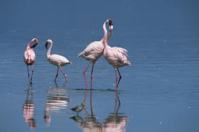 Lesser flamingo (Phoeniconaias minor) bill-fencing as part of courtship, Lake Nakuru, Kenya