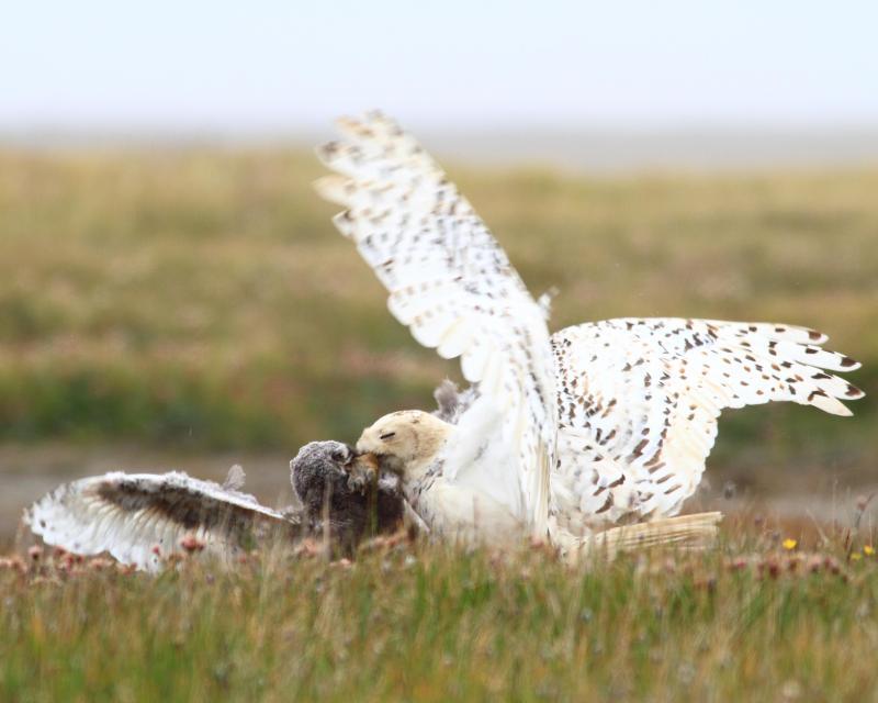 Female snowy owl feeding owlet.