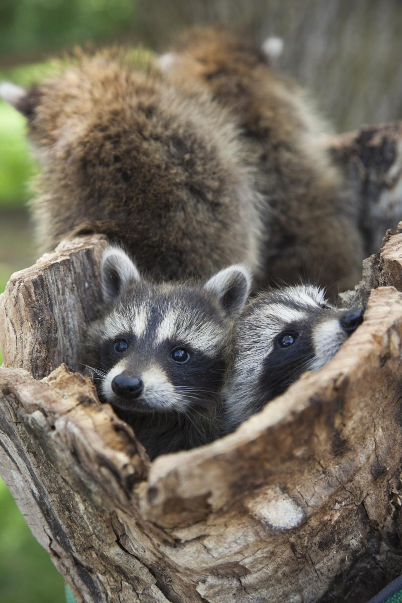 Are human beings, in an effort to outwit raccoons, actually making them smarter and unwittingly contributing to their evolutionary success? Scientists from around the world share their thoughts. Pictured: Six-week-old raccoon kits.