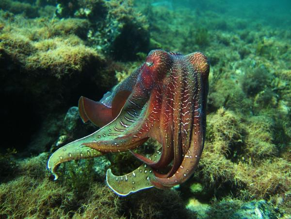 "Giant Cuttlefish in NOVA ""Kings of Camouflage."""