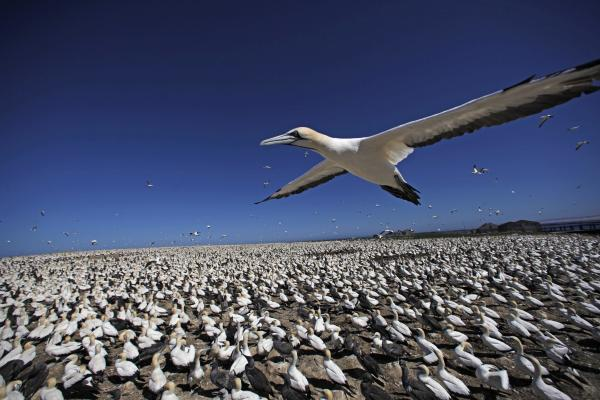 Cape gannet flying over gannet colony, Bird Island, South Africa