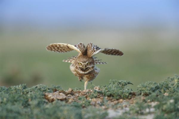 This documentary examines the remaining wildness in the states that compose the Great Plains, an area marked by geographic expanse and diverse beauty. Pictured: A burrowing owl.