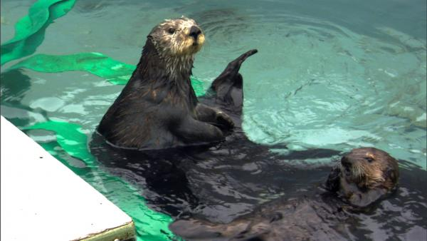 Otter 501 and her surrogate mom, Toola, at play in the tank 501 was raised in. Monterey, CA.