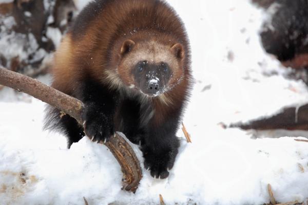 Wolverine on branch. Haines, AK.