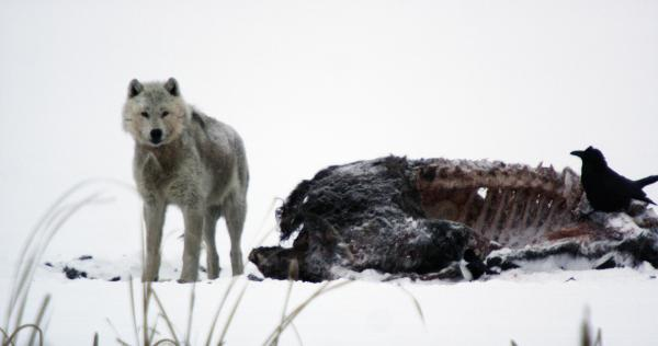 Alpha male wolf by buffalo carcass in winter with raven.