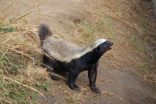 A honey badger is in confrontation stance, tail up, ready for action. Moholoholo Wildlife Rehabilitation Centre, South Africa.