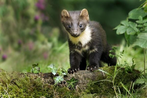 Young pine marten on woodland flow
