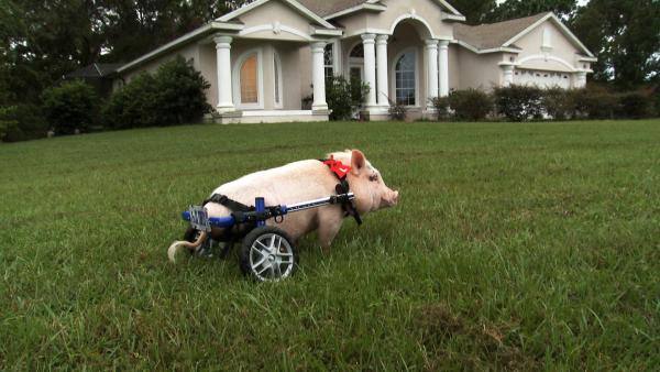Wide shot, Chris P. Bacon the pig on a lawn, Sumterville, FL
