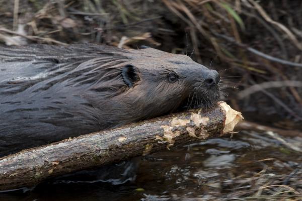 Beaver at work dragging large branch/closeup. Ontario, Canada