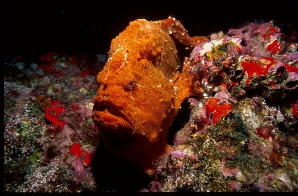 An orange rock? An orange sponge? No, its a frogfish and it doesn't mind the mistake, especially if you're one of the many hungry predators visiting his haunt at Shark Mountain. This film takes viewers to Cocos Island in the Pacific, where sharks of all kinds converge in staggering numbers.