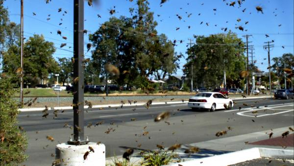 Swarm of bees invade busy highway, California