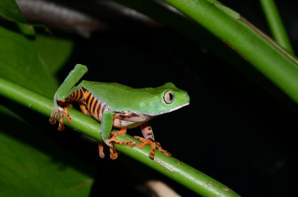 Tiger striped monkey frog, Phyllomedusa tomopterna