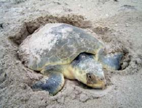 A Kemp's Ridley turtle just chilling in the sand.