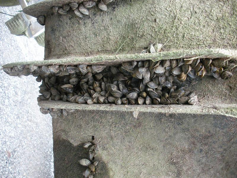 Zebra mussel colonies can multiply quickly.