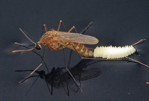 Culex mosquitoes lay their eggs on the surface of fresh or stagnant water.