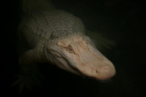 Don't even THINK of trying to steal this dude's Thanksgiving dinner! (He's an albino alligator at the Dallas Zoo.)