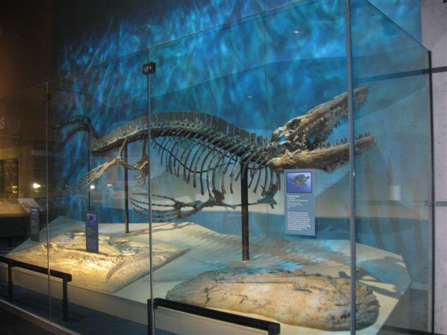 Tylosaurus once ruled the seas that are now North Texas. Collected in Rockwall County, TX.