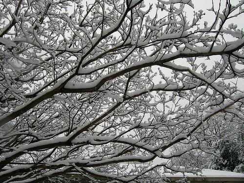 Snow blanketed this Dallas tree in gorgeous accents on Feb. 11, 2010.