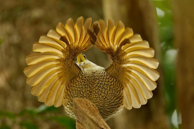 This young male Paradise Riflebird from Australia spent its formative years studying what presentation lures females.