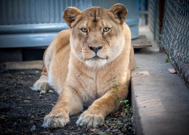 Layla the lioness died March 9.