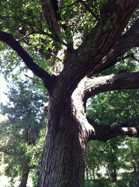 The towering Bur oak that resides next to the spring.